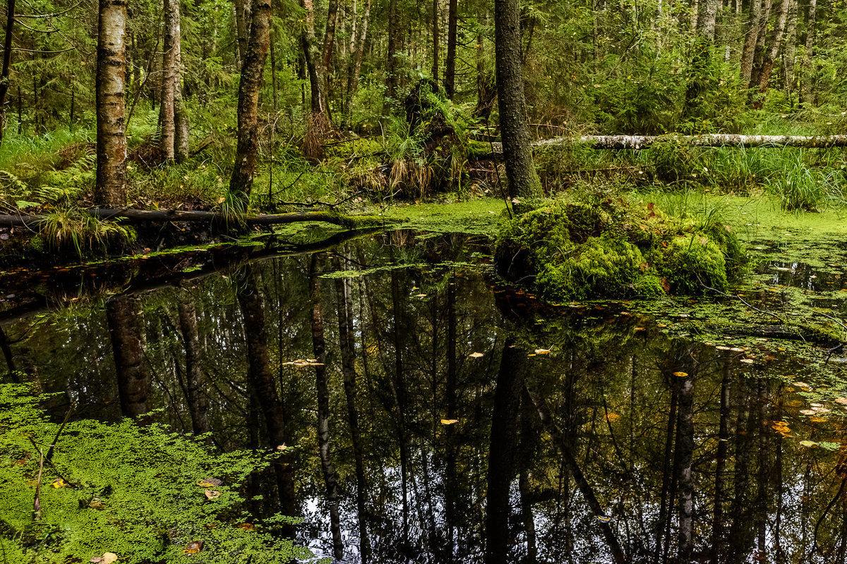 фото лесное болото рис