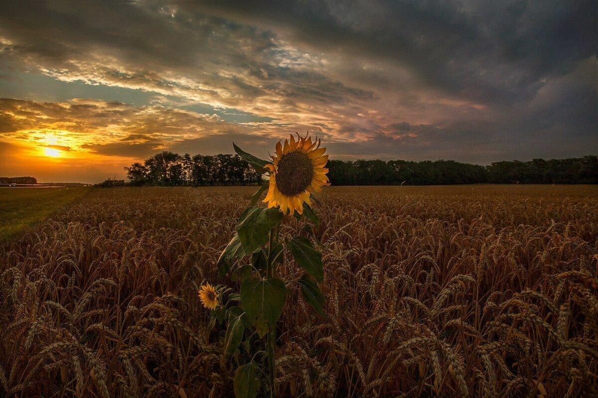 картинки пшеница и подсолнух этого инцидента год