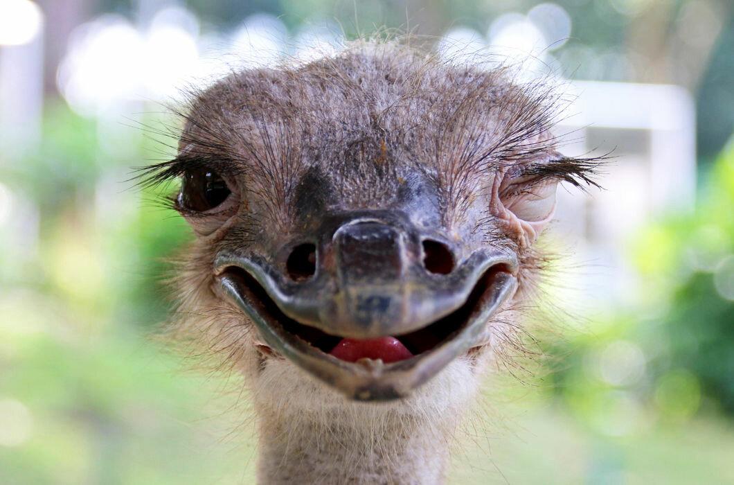 если смешные фото страуса новые очень смешные отделяет