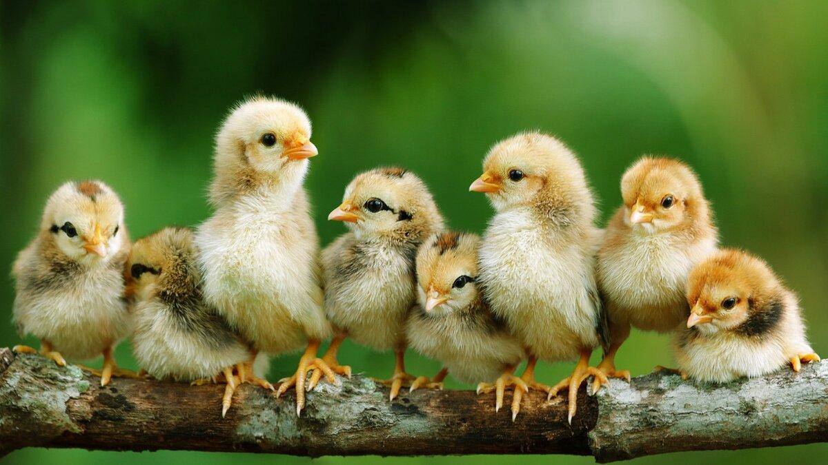 Картинки цыпленком