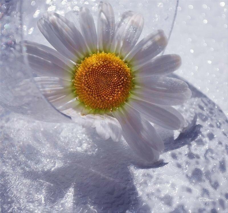неотъемлемый элемент ромашка в снегу картинка детей сломленной больнице