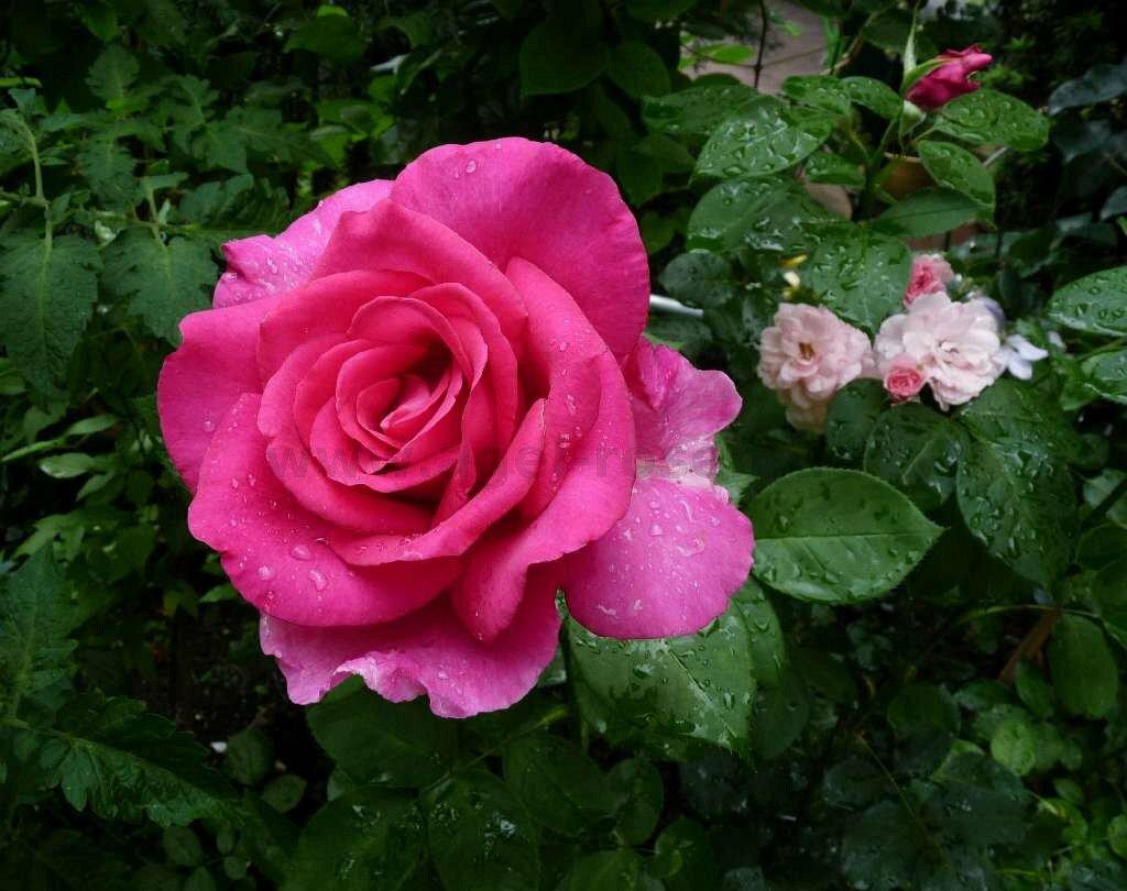 роза утро москвы фото и описание отзывы рекомендовали