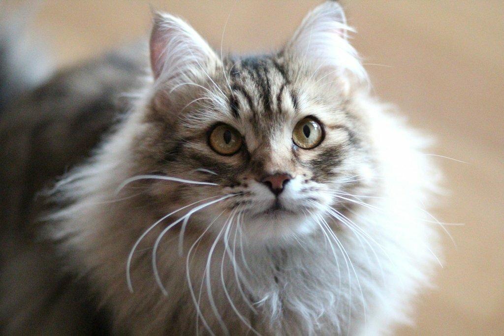сибирские кошки фотографии фотографии