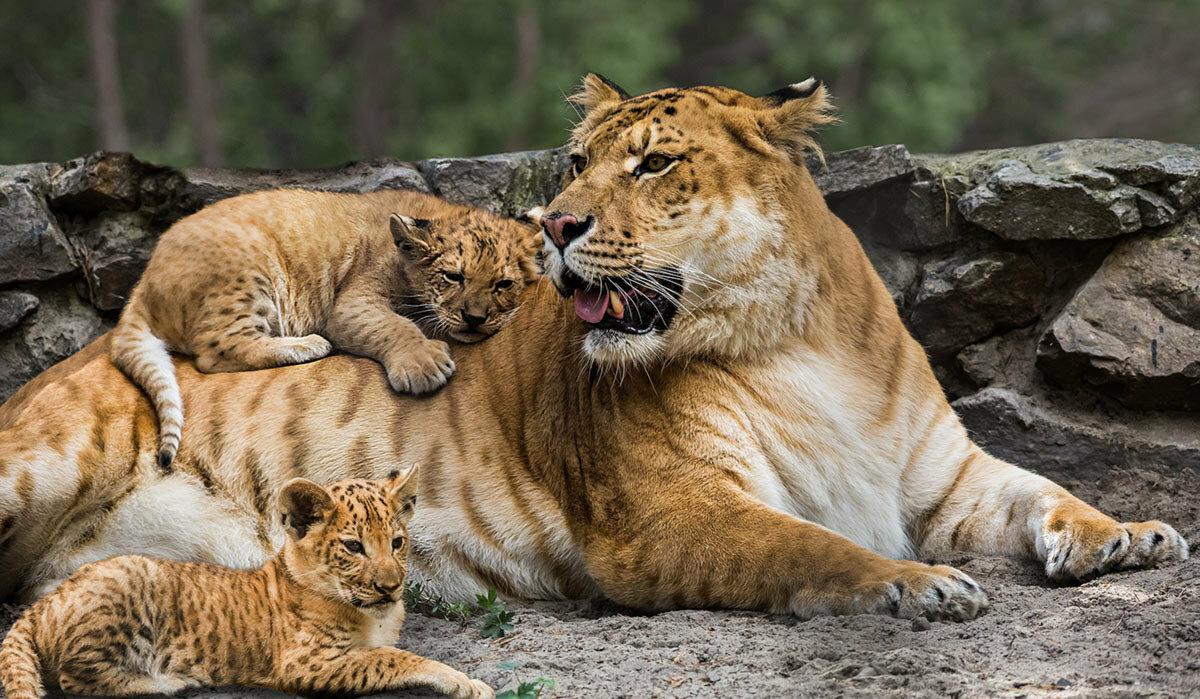 Тигры и львы картинки, дла