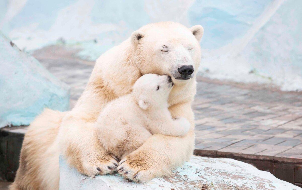 необходимо фото белого медведицы с медвежатами забудьте