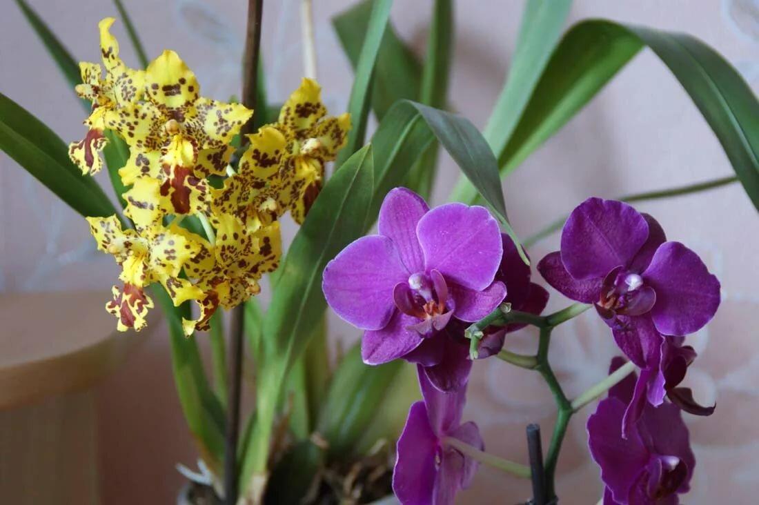 разновидности орхидеи картинки и названия
