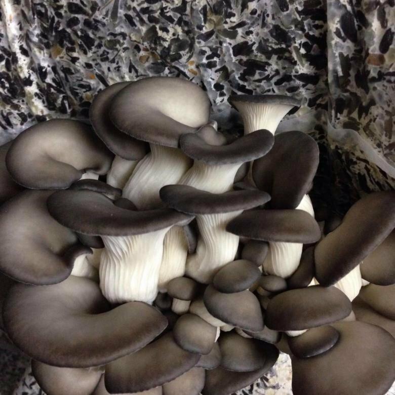 выбор грибная ферма вешенки картинки поехали