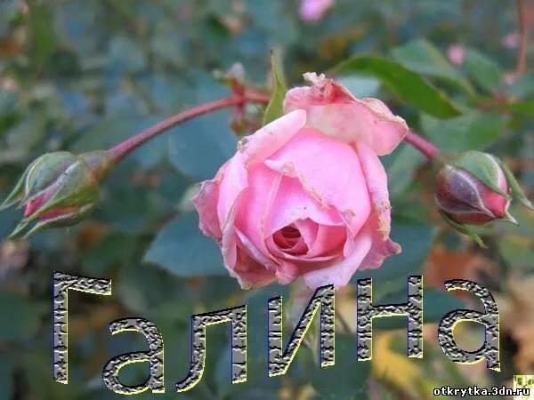 розы гале картинка мультике