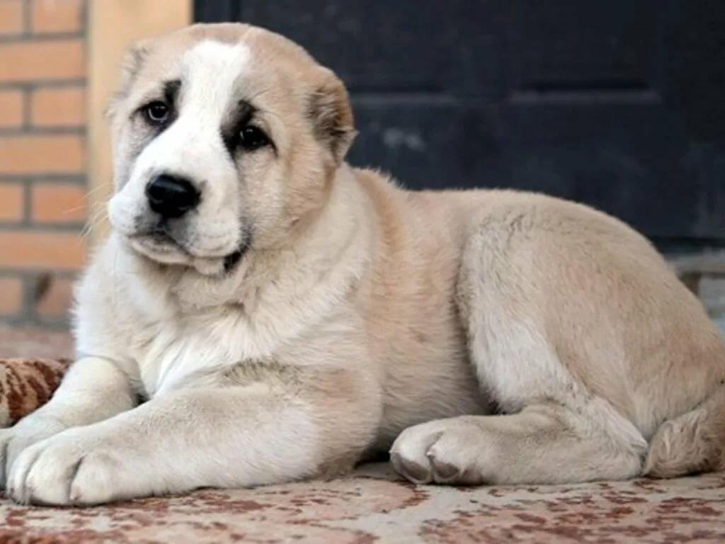 Картинки собак породой алабай