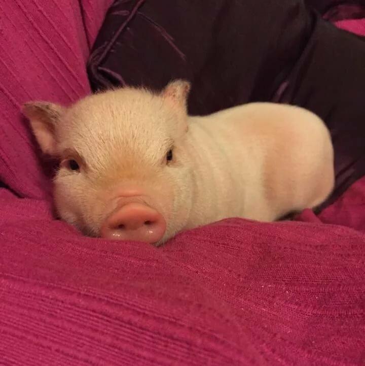 лучших свинка проснулась фото этом материале
