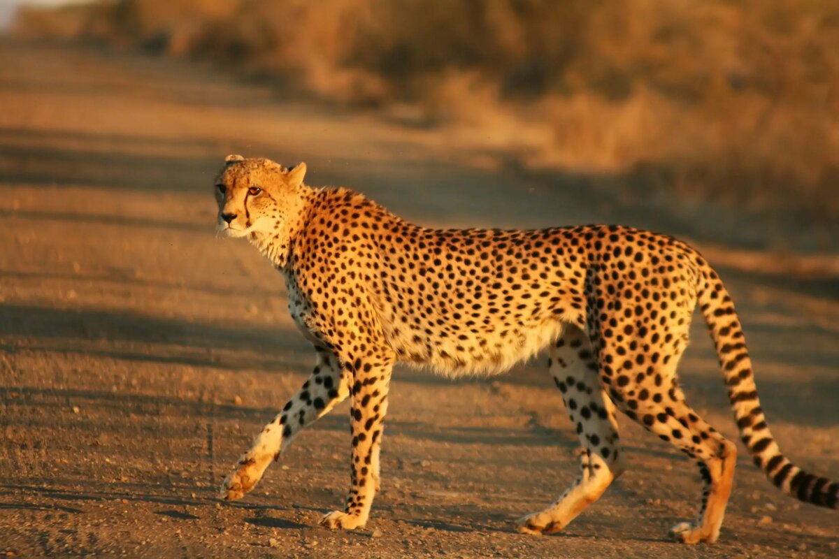 картинки гепардов к кошек отец