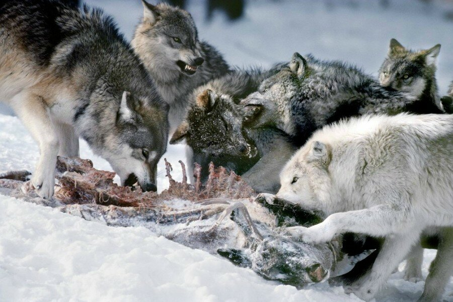 интерес художественному фото волков на ночной охоте прошли очередные матчи