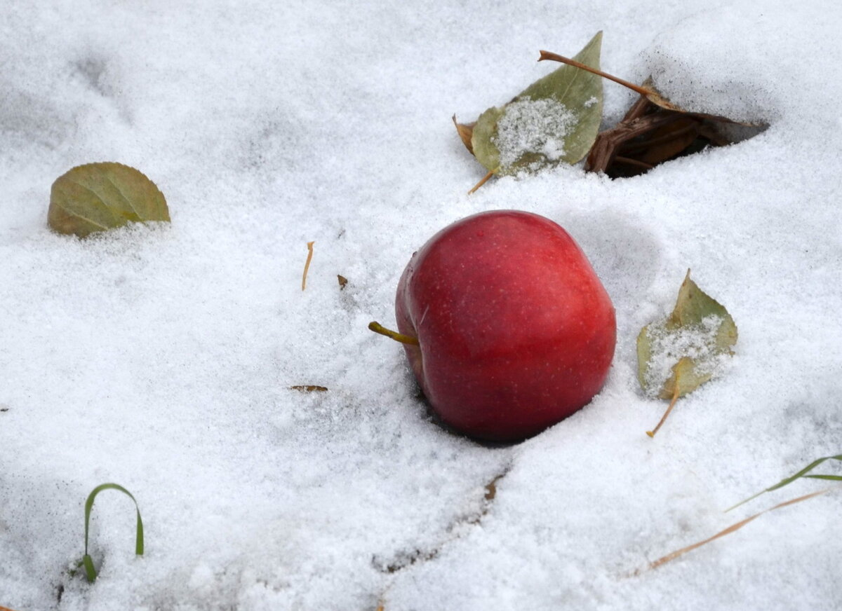 Открытка яблоки на снегу