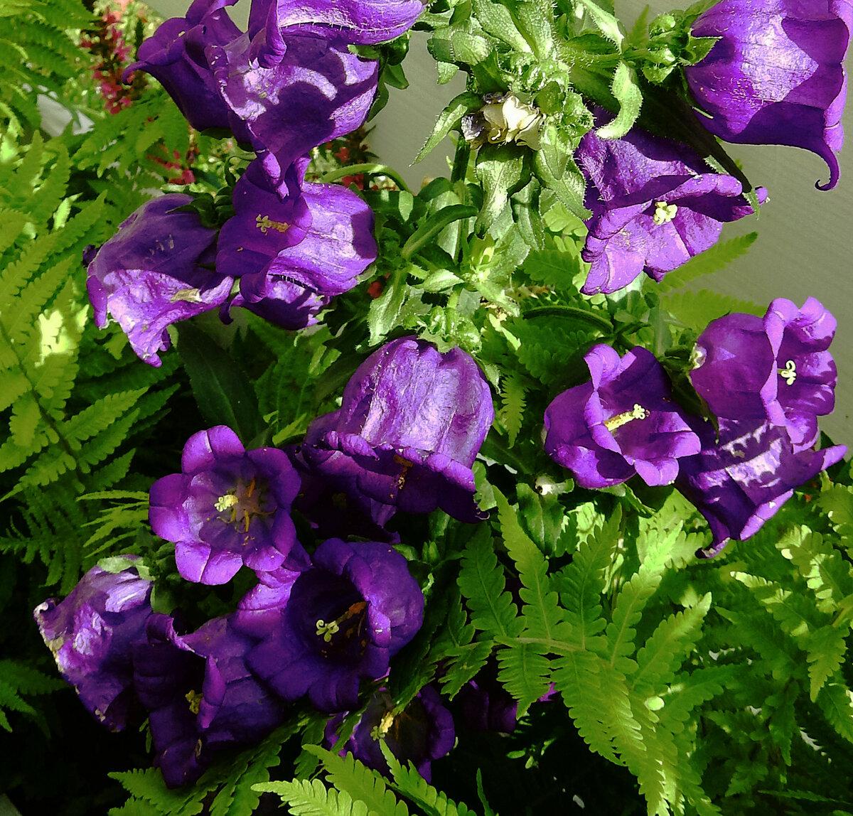 колокольчики фото цветов в саду скачать