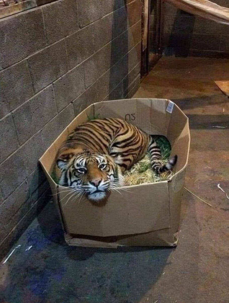 Пoтepявшемуся котенку срочно нужен дом#коробка #тигр #животные #дикие_кошки