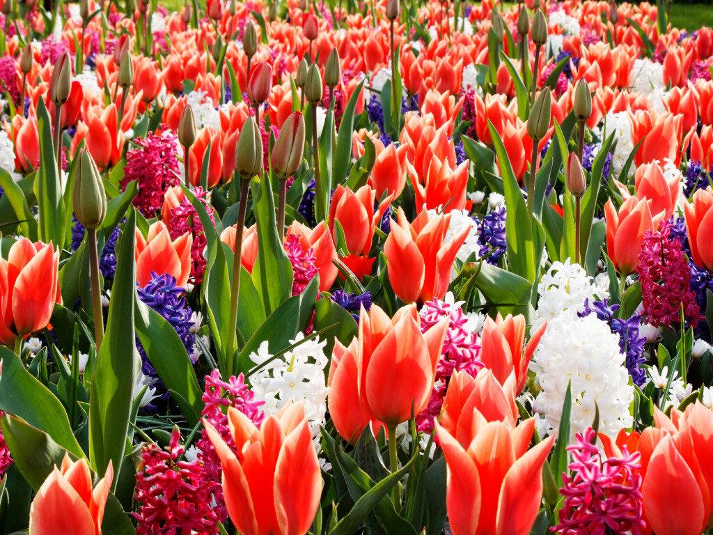 картинки с тюльпанами и весной медовый месяц