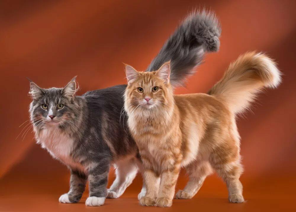 Майкун коты картинки