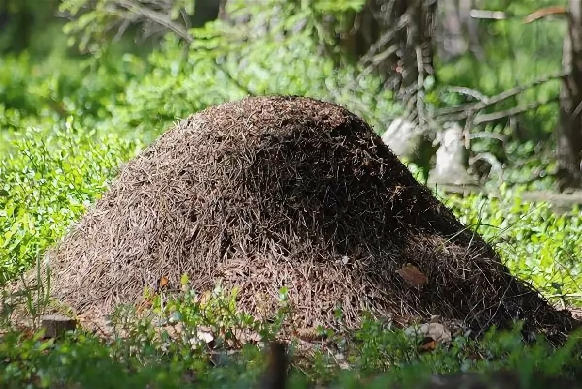 Картинка муравейник и муравьи