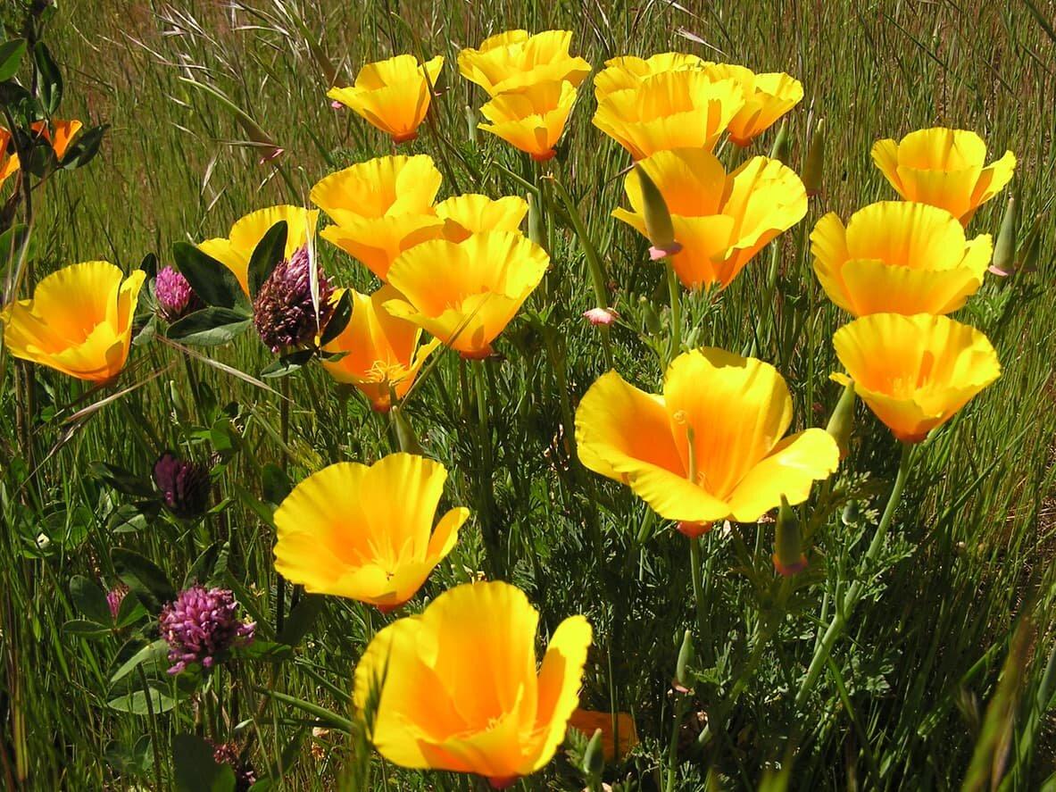 картинки цветка эшшольция кнопку
