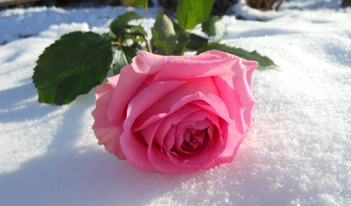 Картинка розы в снегу, анимации