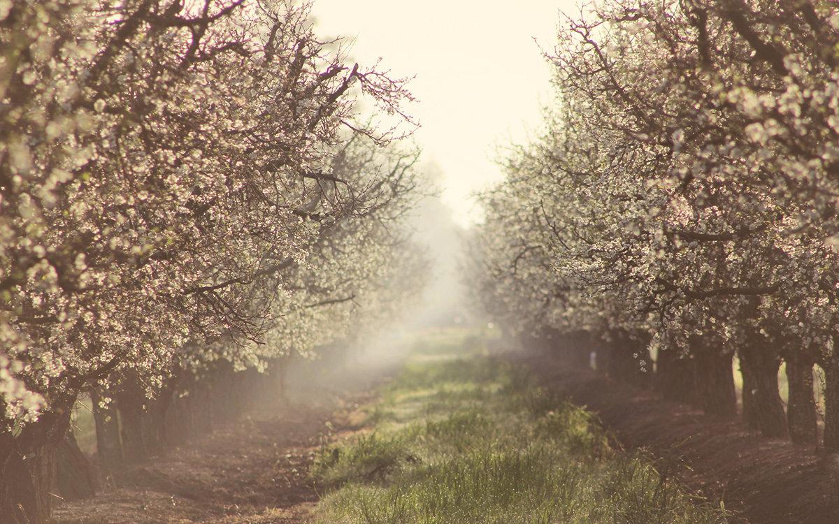 Туман Природа весенние Сады Цветущие деревья