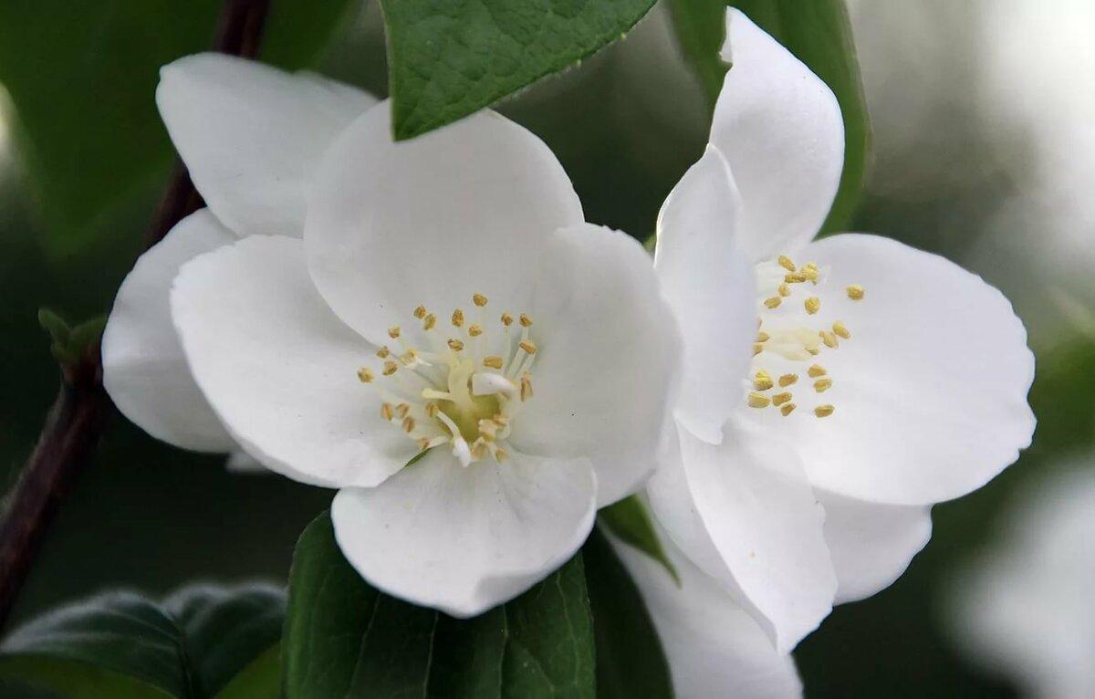 Для открыток, цветок жасмина открытки