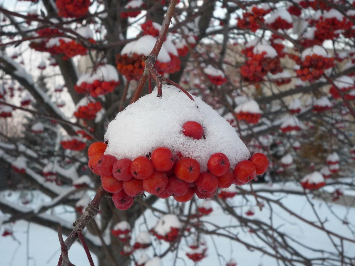 Сердце из красной рябины на снегу фото