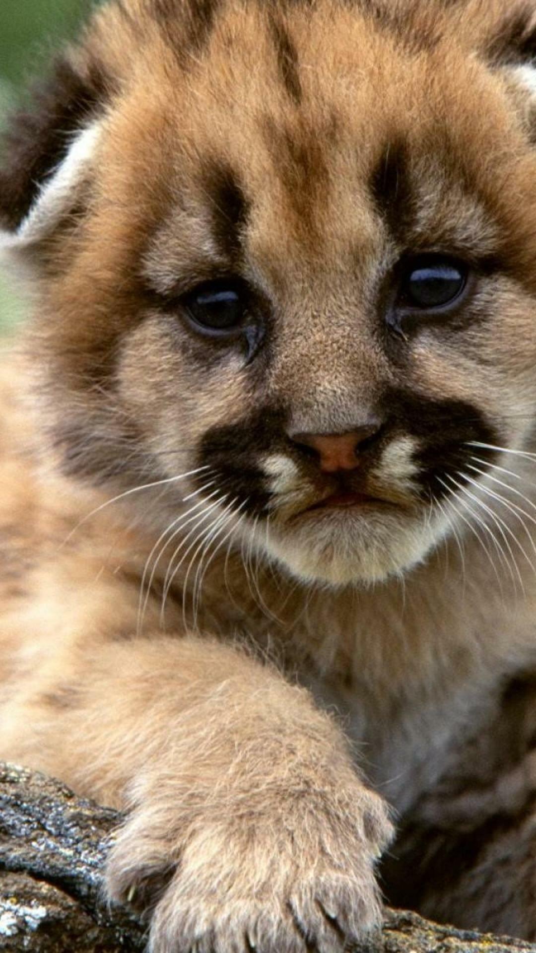 Cute Lion Cub Wallpaper 43567 Card From User Galitskayaelen In