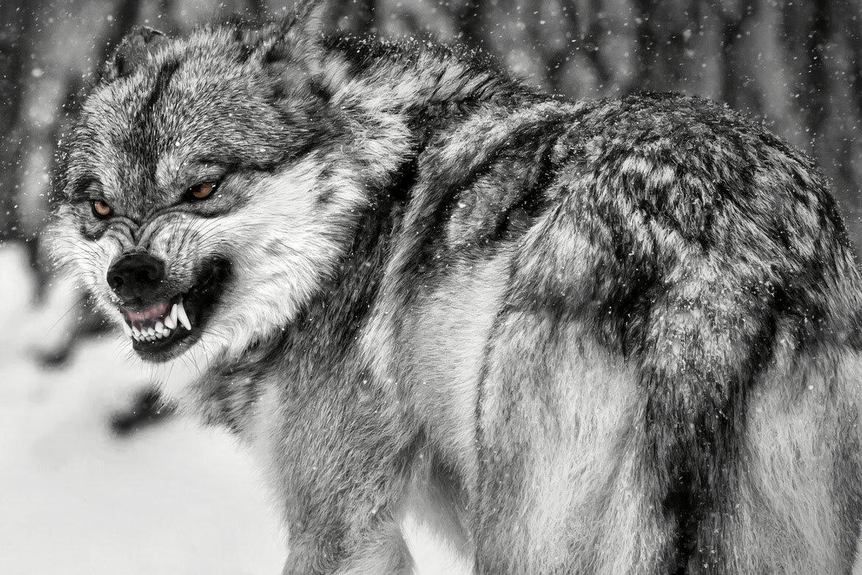 многие пожилые фото злого волка на аву поддерживают связь сенджу
