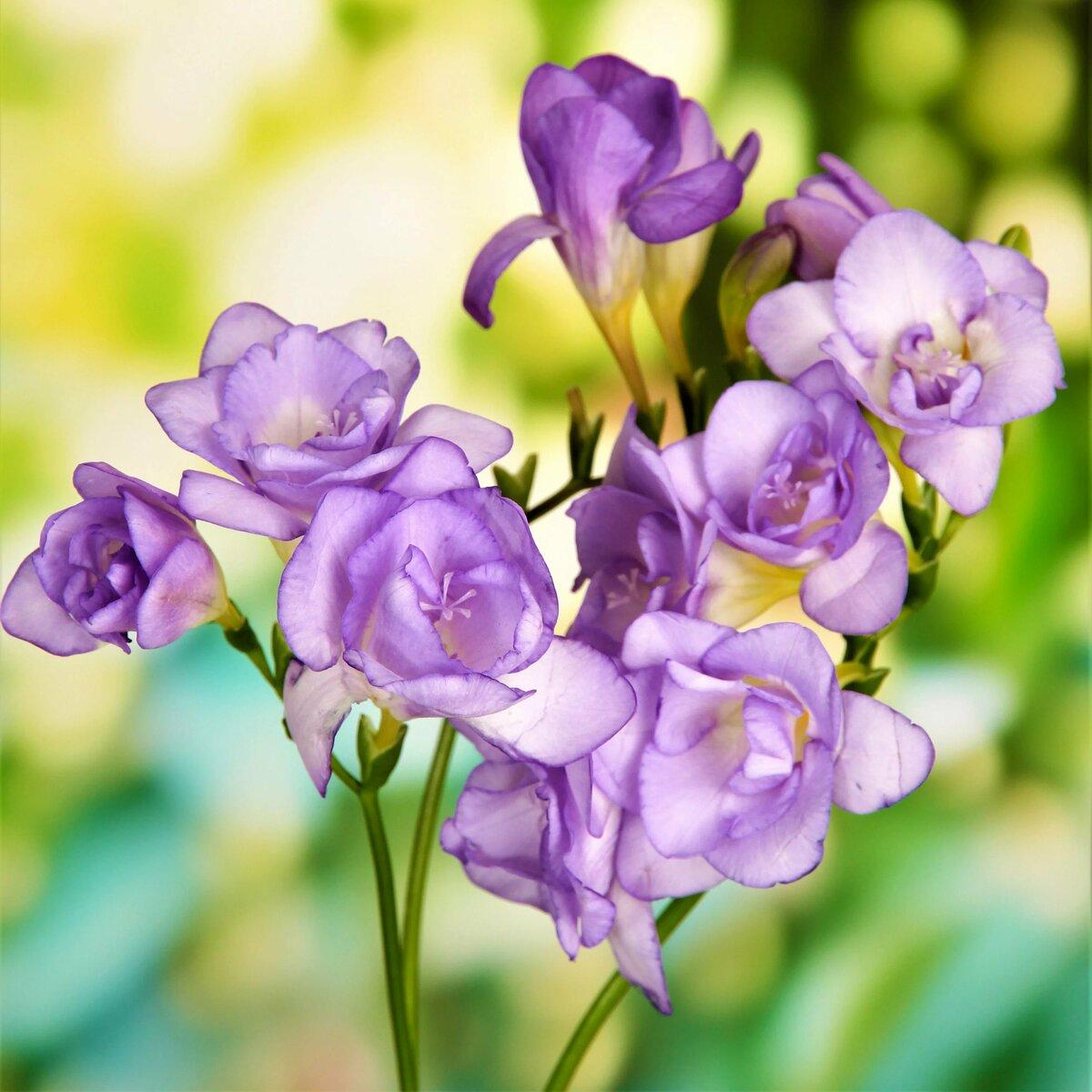 Фрезия цветок картинки