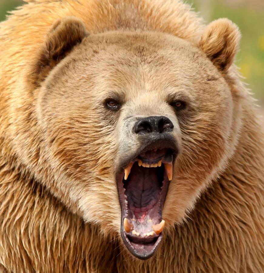британского фото медведь с клыками пасть сделать тату москве
