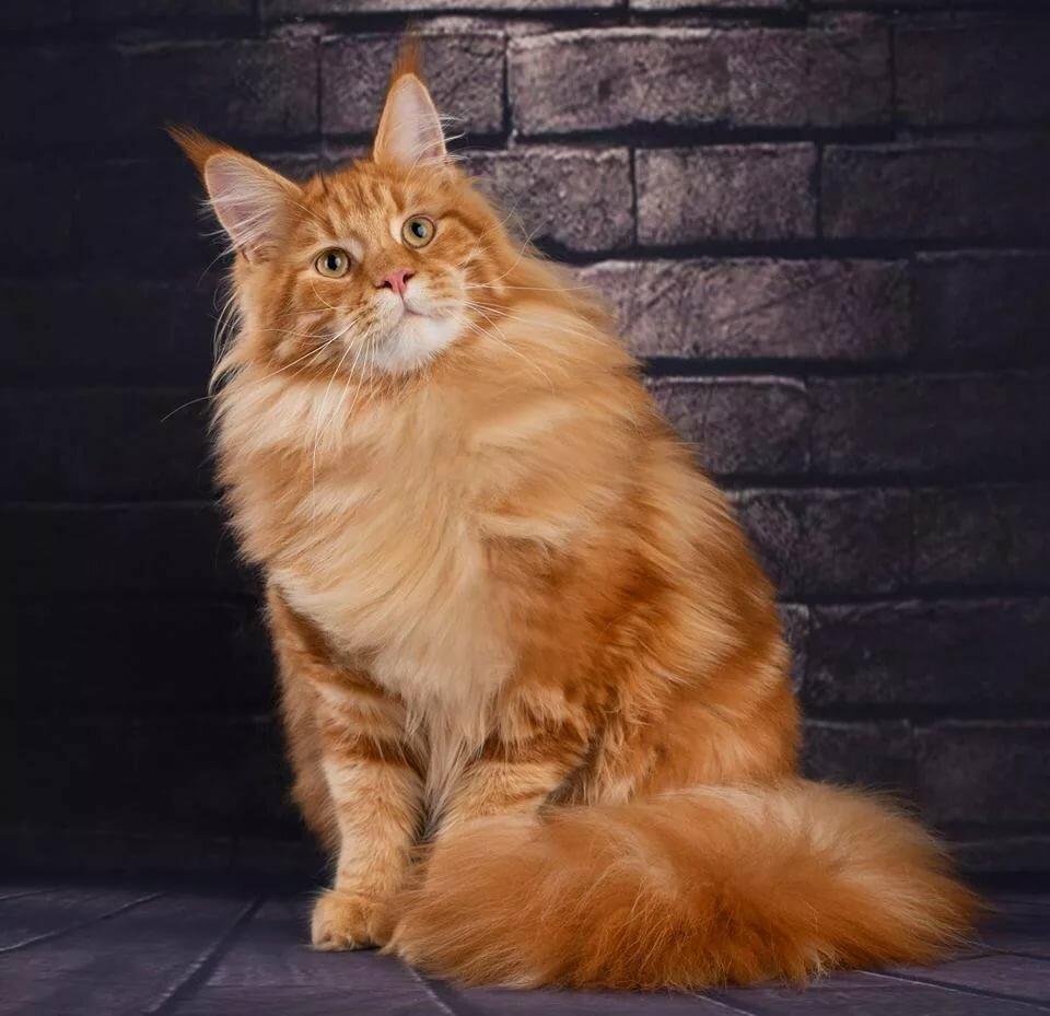 Кот мейн кун сильно похудел