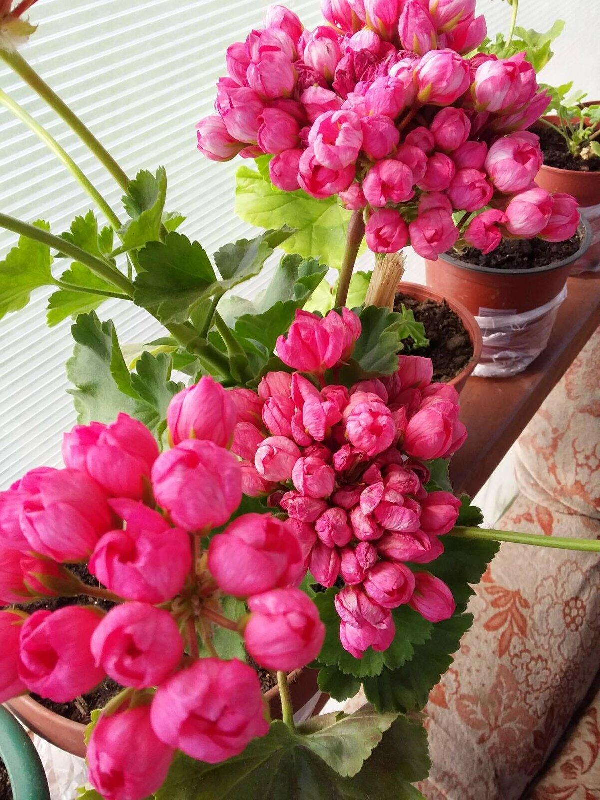 Цветов доставка, где купить цветы герани тюльпановидной