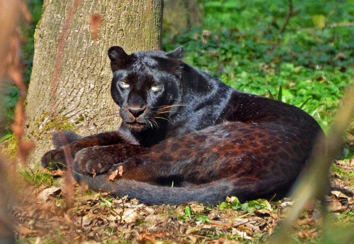 картинки кошек пантер леопардов