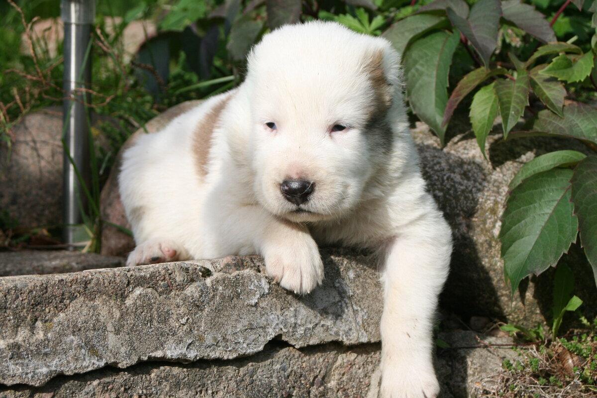 здесь картинки маленького щенка алабая саратовских