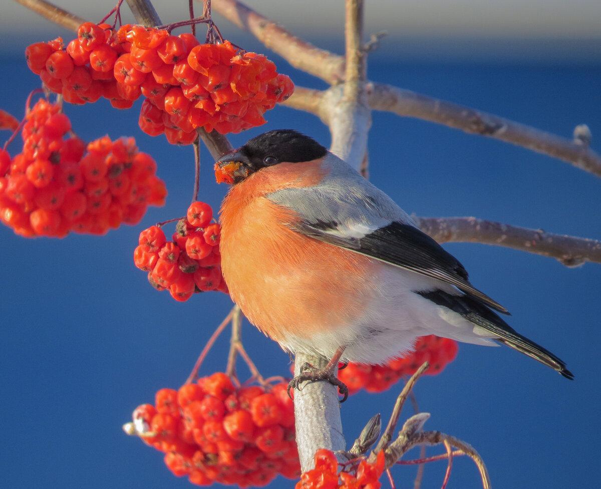 Рябина птицы фото