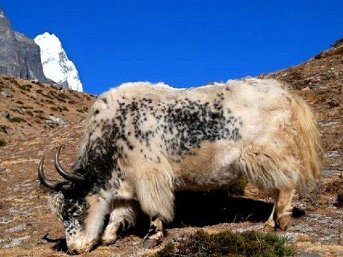 Животные и птицы тибета картинки