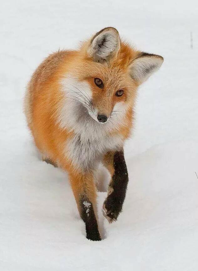 Спасибо все, картинки необычная лиса