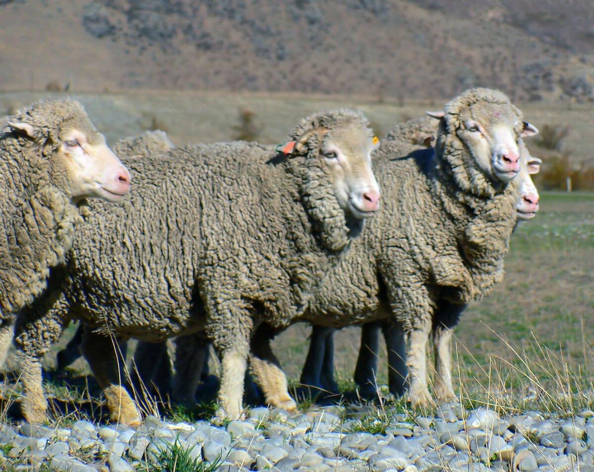 Картинки овец стадо