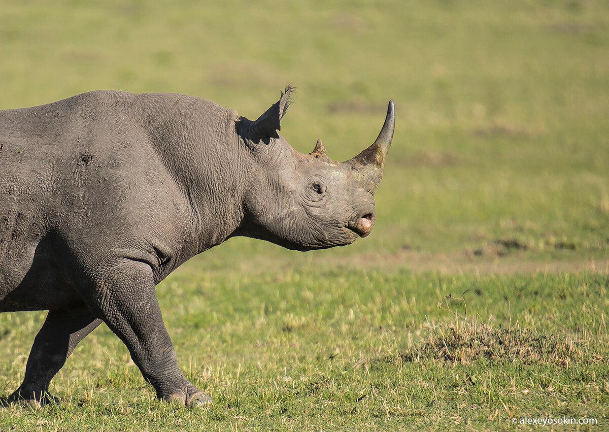 Носорог фото в картинках