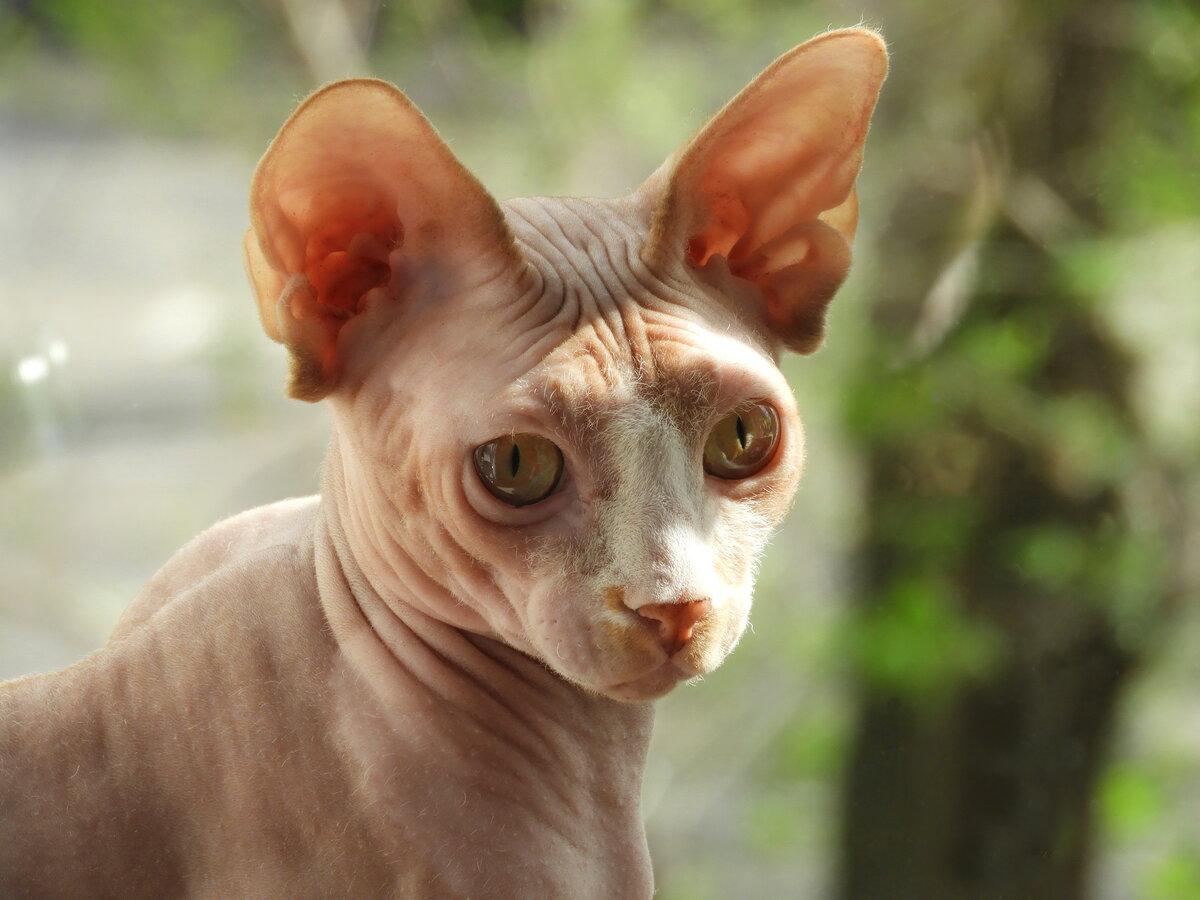 картинки домашней кошки сфинкс макловица занимает