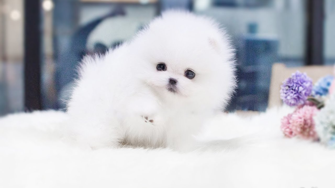 Cute Fluffy Puppies L White Puppy Balls Compilation 100 Jokes