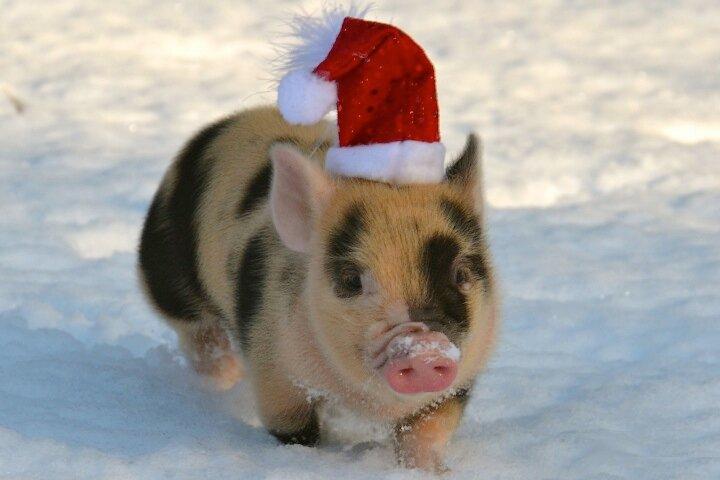 Прикольные картинки со свинками на новый год