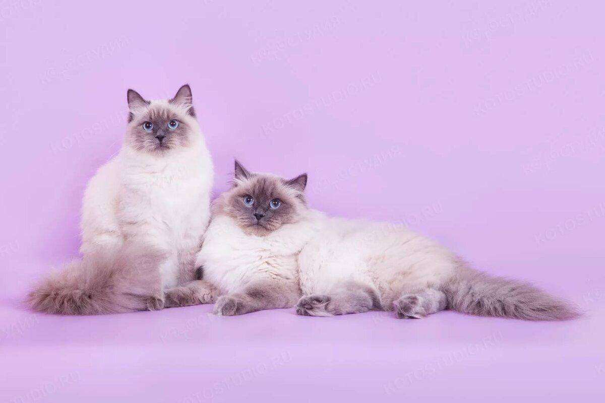 нас нашем картинки невских маскарадных кошек изучившего отличия кори