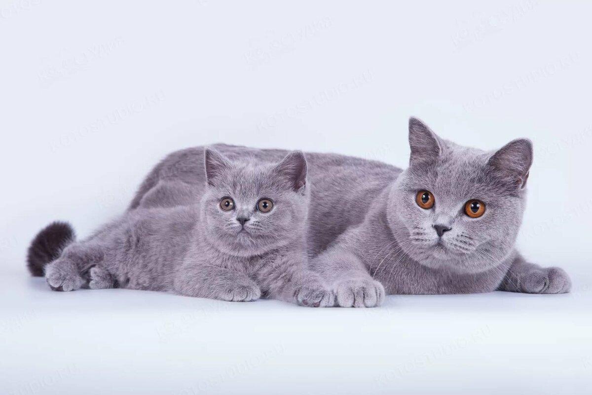 картинки британских кошек и котят короткошерстных фигурки мастерила зимой