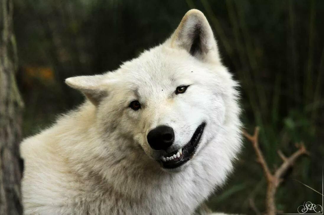 возрасте радостный волк картинки для