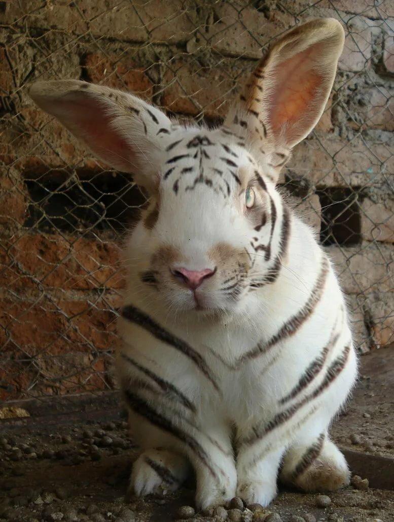 картинки тигр с кроликом