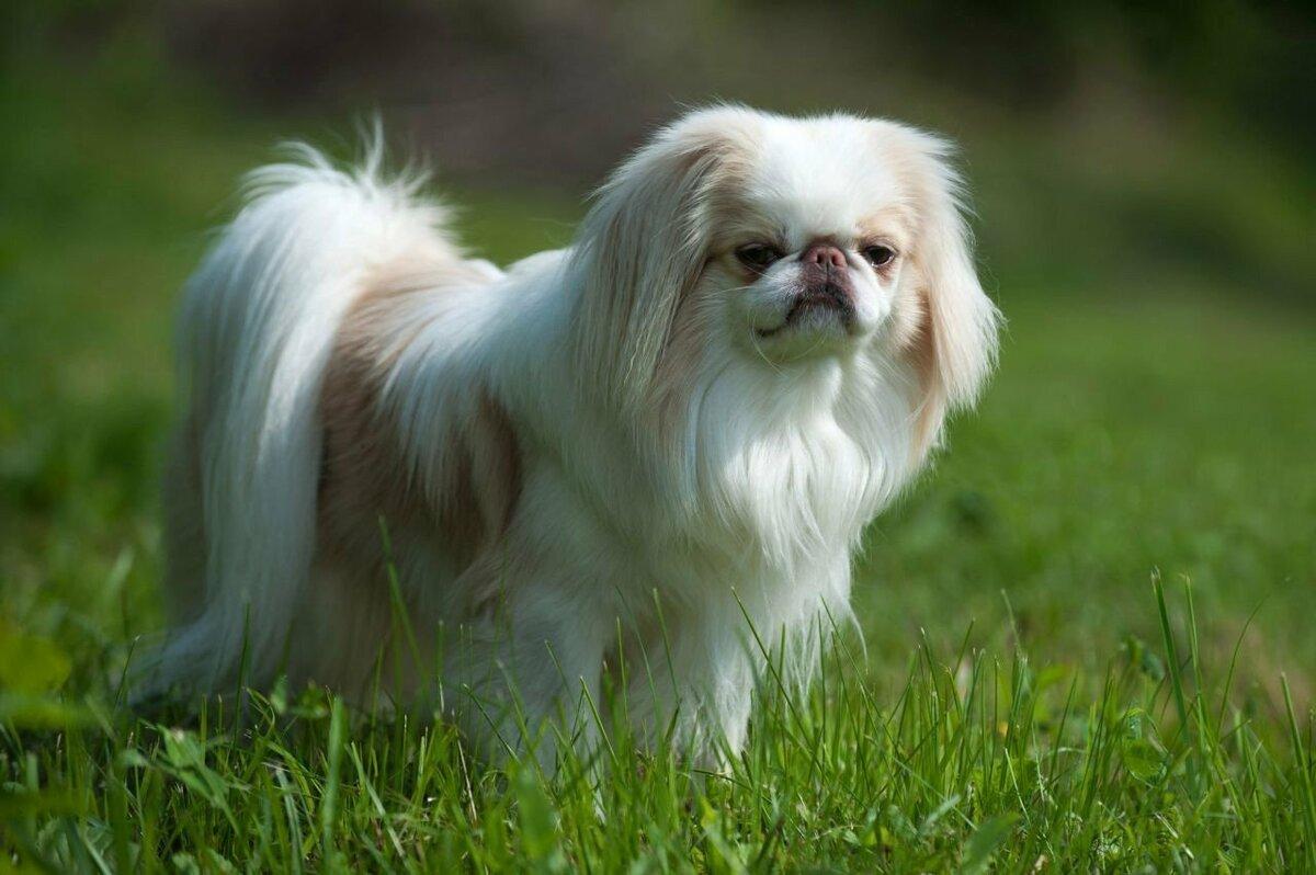 Картинка собаки хин