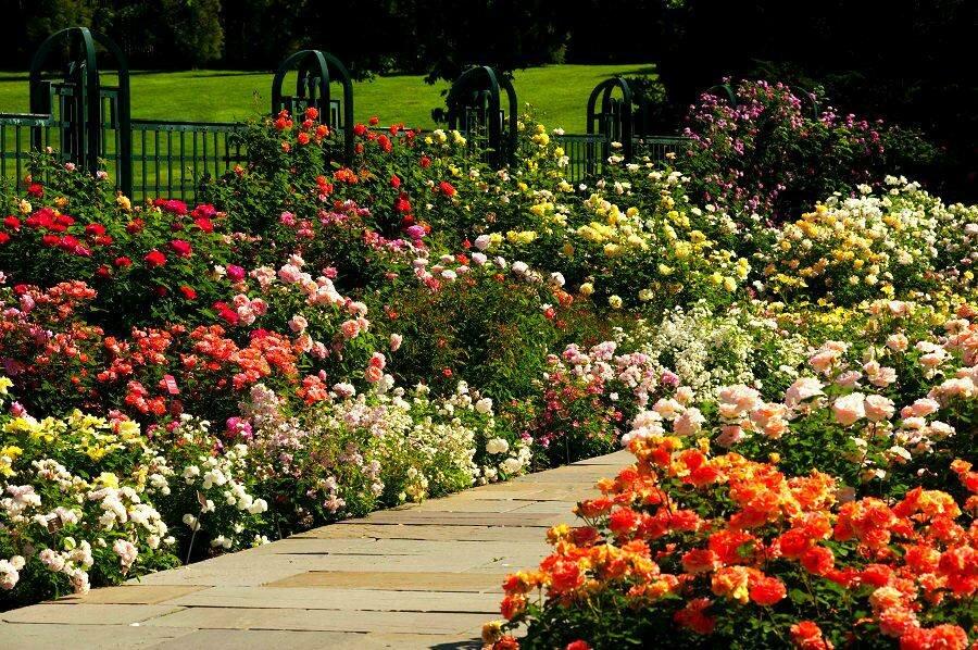 Розы клумбы картинки