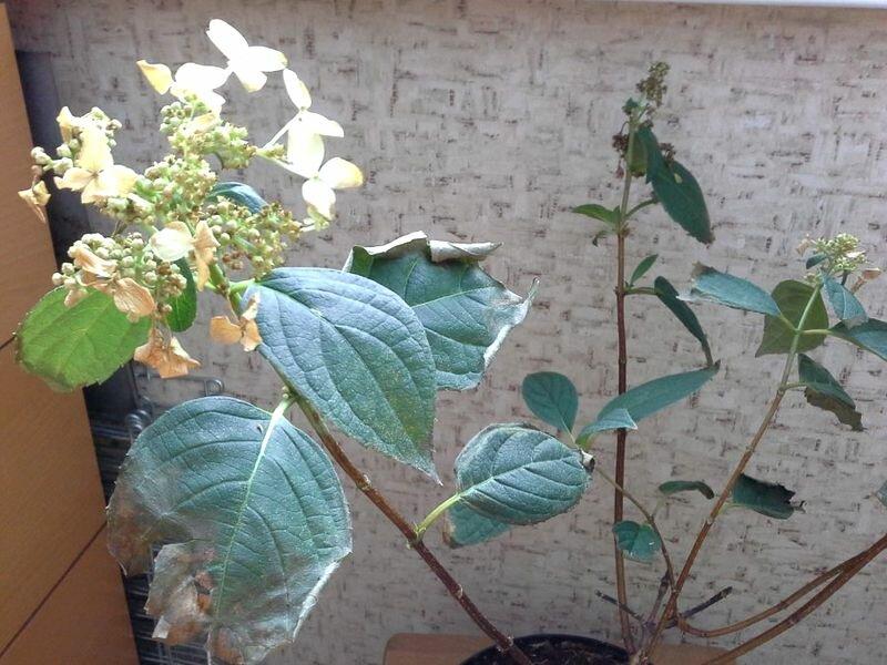 лишь сохнут листья у гортензии садовой причины фото уже ранее отмечалось